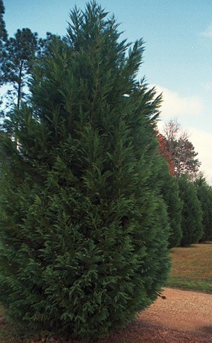 Leighton Green Leyland Cypress