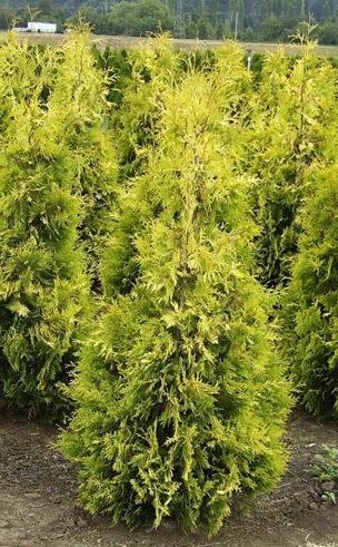 Thuja Yellow Ribbon
